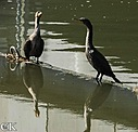 Water birds by Curt in Member Albums