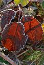 Frost on Berry Leaves by Nikonian72 in Member Albums