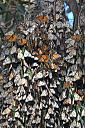 An Aggragation of Monarch Butterflies 1 by Nikonian72 in Member Albums