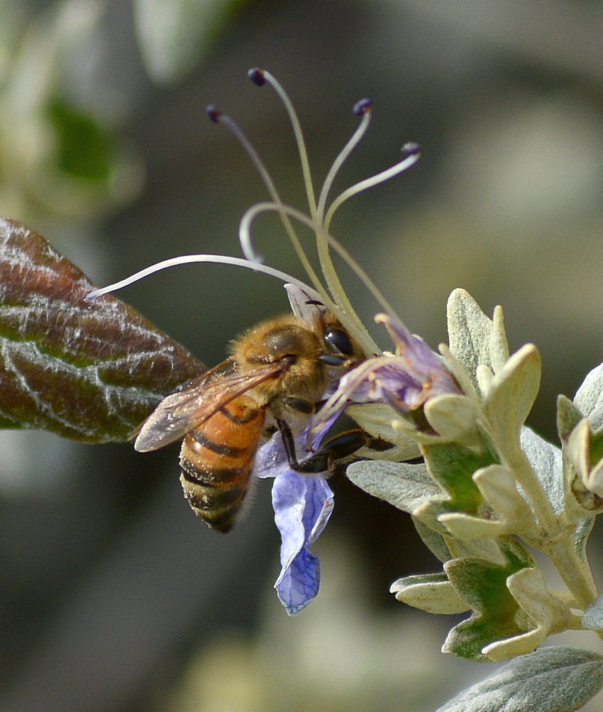 Bee on teucrium