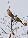 finches 498408