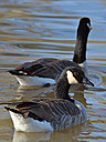 geese2 by wev