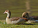 geese by wev