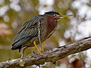 greenheron by wev in wev's Random stuff