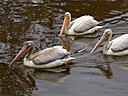 pelicans2 by wev in wev's Random stuff