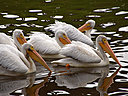 pelicans5 by wev in wev's Random stuff