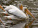 pelicans6 by wev in wev's Random stuff