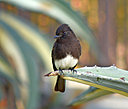 Sooty gnatcatcher by wev in Member Albums