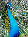 Peacock Portrait by dramtastic in Member Albums