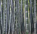 Bamboo Forest by dramtastic in Member Albums