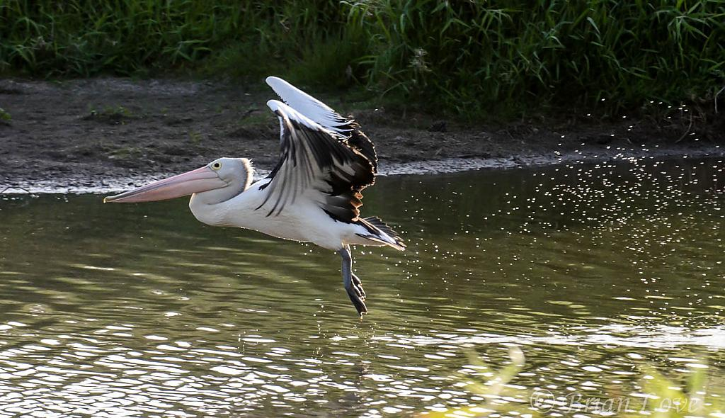 Pelican Take Offs by dramtastic in Member Albums