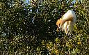 Cattle Egret Breeding Plumage by dramtastic