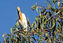 Cattle Egret Breeding Plumage by dramtastic in Member Albums