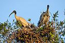 Ibis Waiting for the Stork by dramtastic in Member Albums