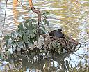 Dusky Moorhen and New Arrival by dramtastic in Member Albums