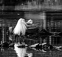 Great Eastern Egret B&W by dramtastic in Member Albums