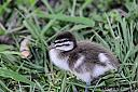 Baby Wood Duck by dramtastic in Member Albums