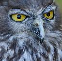 Barking Owl - The eyes have it!