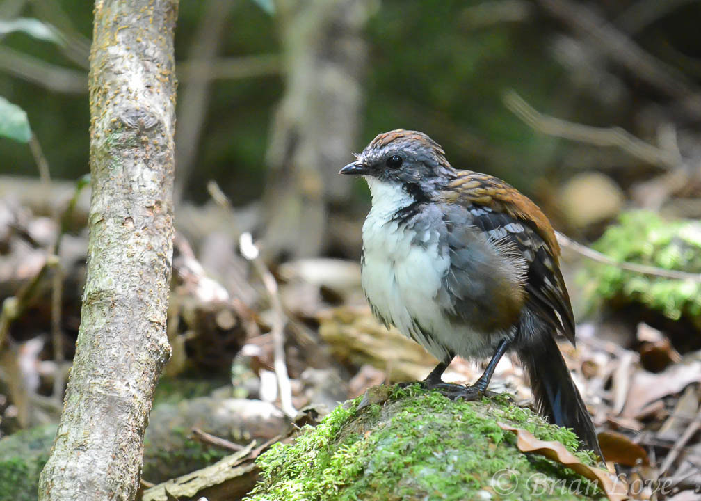 Painted Button Quail by dramtastic in Member Albums