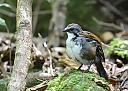 Painted Button Quail by dramtastic