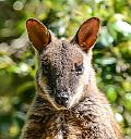 Rock Wallaby by dramtastic in Member Albums