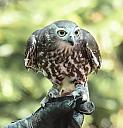Barking Owl by dramtastic in Member Albums