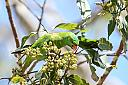 Scaly-breasted Lorikeet by dramtastic in Member Albums