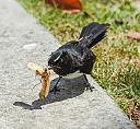 Bird(Willy Wagtail) vs Food by dramtastic in Member Albums