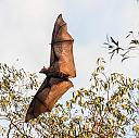 Fruit Bats in Flight by dramtastic in Member Albums