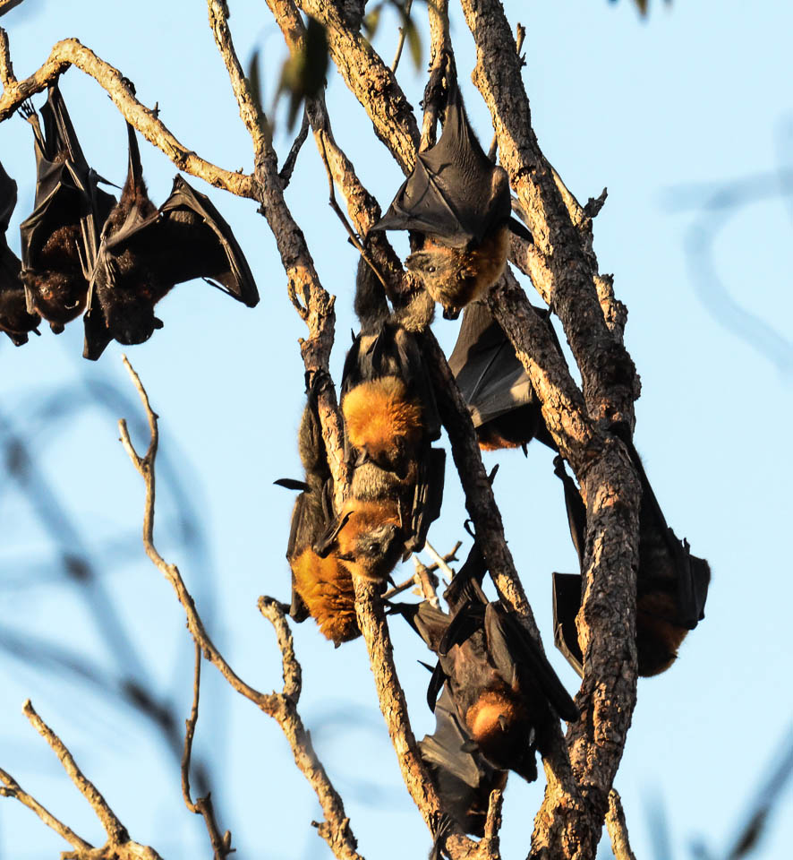 Fruit Bats by dramtastic in Member Albums
