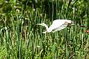 Great Eastern Egret by dramtastic in Member Albums