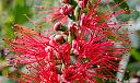 Red Wattle by dramtastic in Member Albums