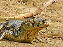 Yacare Caiman Bolivian Pampa by dramtastic in Member Albums