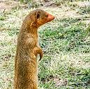 Mongoose by dramtastic in Member Albums