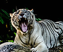 White Tiger by dramtastic in Member Albums