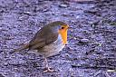 Robin on towpath by framemeister in Member Albums