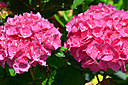 Hydrangea by Whaler in Member Albums