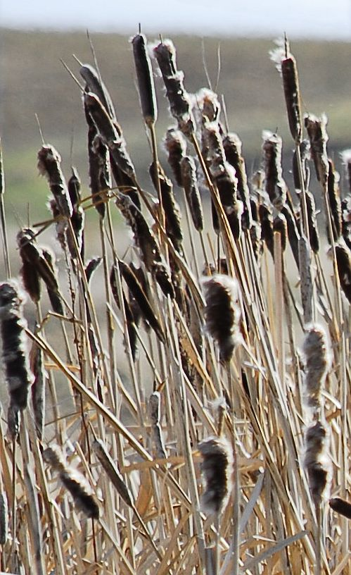 Bullrushes by fotojack in Flora