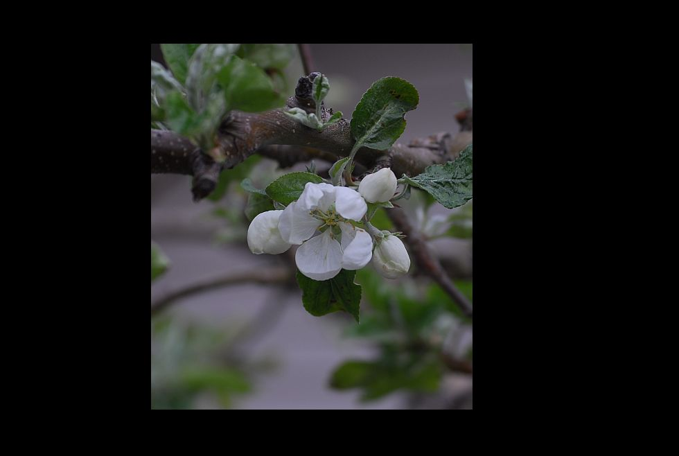 Apple Blossom by fotojack in Member Albums
