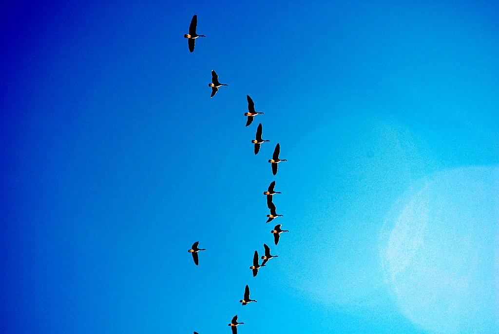 Flying South by fotojack in Birds and Wildlife