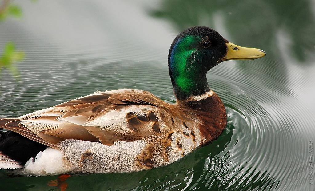 Drake on duck pond by fotojack in Nature