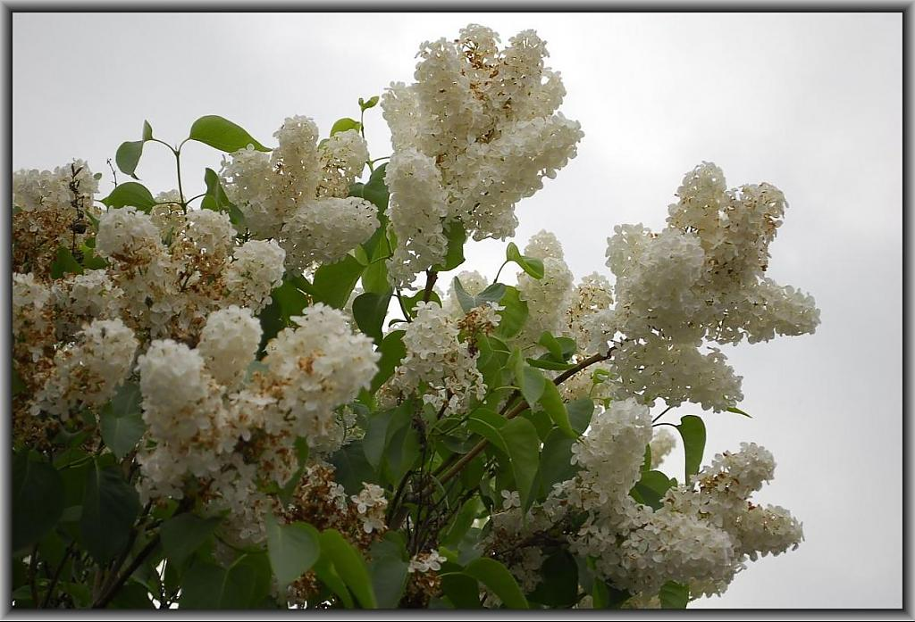 White Lilacs by fotojack in Member Albums
