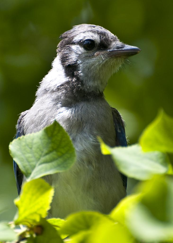 Baby Blue Jay by pedro526 in Member Albums
