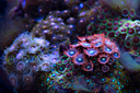 Zoanthid corals by nidding in Member Albums