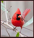 Cardinal by Mike D90 in Birds