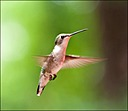 Hummingbird by Mike D90 in Birds
