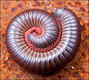 Millipede by Mike D90 in Insects