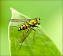 Green Fly by Mike D90 in Insects