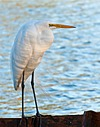 Great Egret by Mike D90