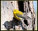 Pine Warbler by Mike D90 in Birds